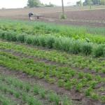 Gemüseanbau Feld-2