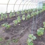 Gurkenpflanzen im Foliengewächshaus