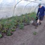 Tomatenpflanzen giessen